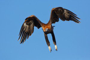 Wedge_tail_eagle