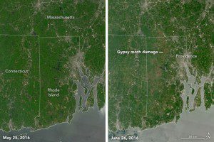 Natural-color images were acquired by Terra's Moderate Resolution Imaging Spectroradiometer on May 25, 2016 (left), and June 26, 2016 (right). Healthy forests appear green, while defoliated areas have a gray-brown tint. (Credit: NASA Earth Observatory image by Jesse Allen, using data from LANCE.)